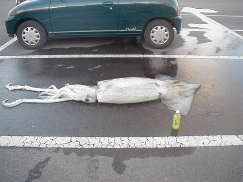 Visual approximation of squid size and purchase location.